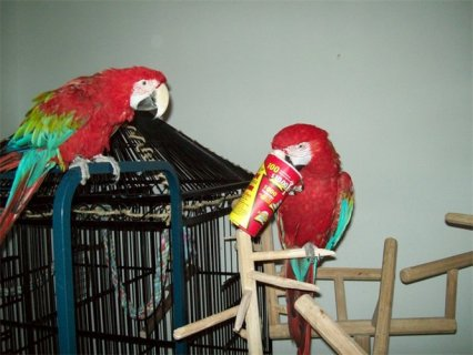 Good talking pair of Green winged macaw parrotsfor lovely homes