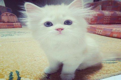 قطط بريطانية شيرازية للبيع