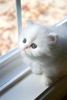 TICA Registered Persian Kittens