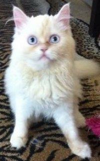 قطة شيرازي بيضاء , زرقاء العيون, خمس شهور