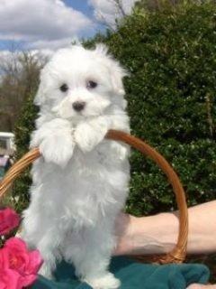 Excellent Maltese Puppies