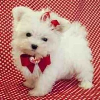 Teacup Maltese Pups