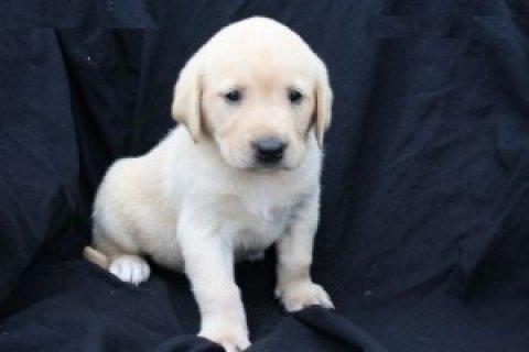 Labrador Retriever puppies for ready for new homes