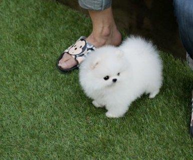 1 year health Guarantee Pomeranian Puppies!