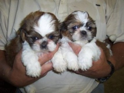 Sweet Shih Tzu Pups