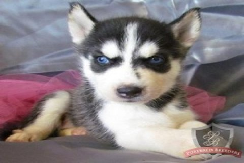 Healthy And Registered Checked Siberian Husky Puppies.