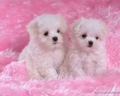 Top Quality Maltese Puppies