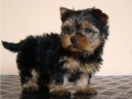 cute and Adorable male and female Yorkie puppies for adoption