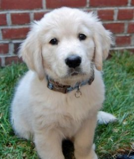 Two adorable Golden Retriever for Sale