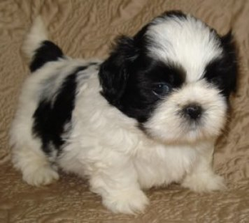 صور Male and female Shih Tzu Puppies Available 1