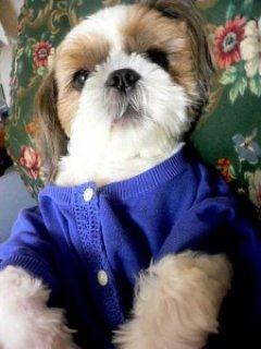 HEALTHY AND CUTE SHIH TZU PUPPIES AVAILABLE