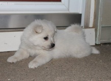 American Eskimo Puppies Available for new home