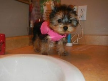 Adorable Real Teacup Yorkie Puppies for Sale