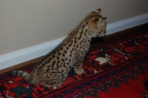 Exotic F2 savannah Kittens For Sale