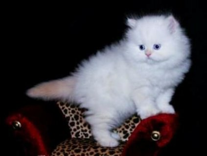 صور Teacup Persian Kittens For Sale 1