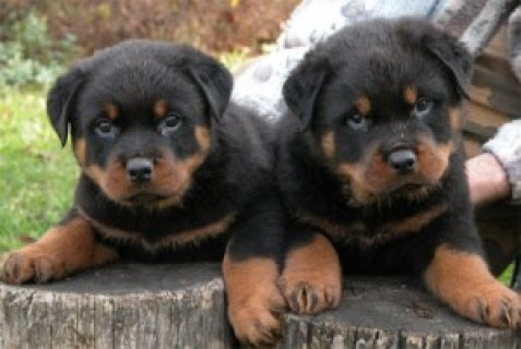 Male and Female Rottweilers