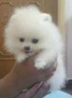 Beautiful Pomeranian Princess