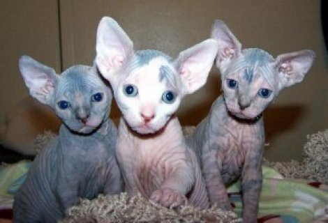 Male and female Sphynx Kittens for Adoption
