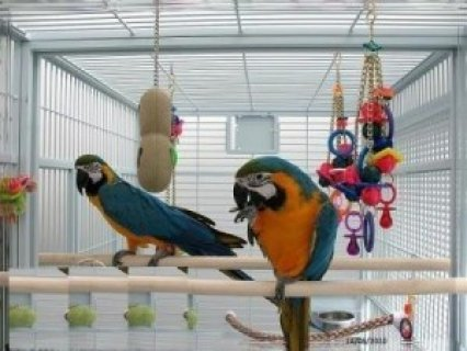 Wonderful Blue And Gold Macaw for sale