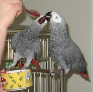 صور well trained african grey parrots need a new home 1