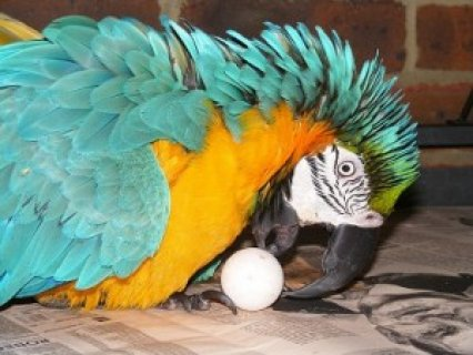 Baby Blue and Gold Macaw for Sale for Christmas