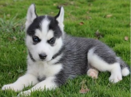 Free Top quality Siberian Husky puppies ready to go