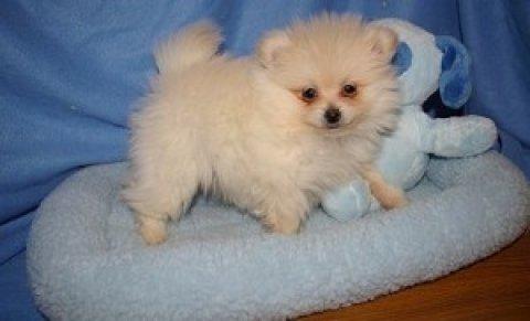 very nice variety siberian husky pupiess+