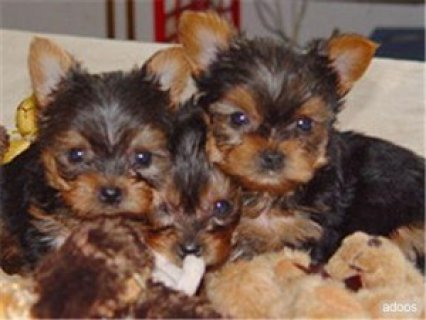 adorable yorkie puppies for free adoption  my puppies are vet ch