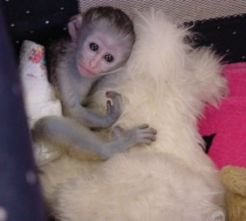 صور Twin Capuchin monkeys for adoption 1