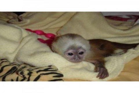 USDA Capuchin Monkey Monkey