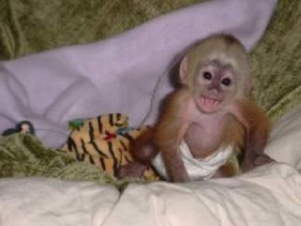 Three Months Old Capuchin Monkey