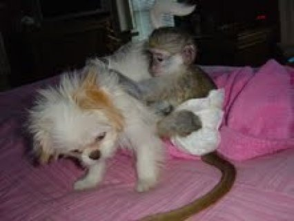 Little Sweet Capuchin Monkey
