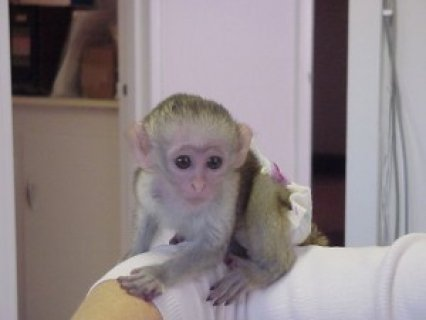 Female Capuchin Monkey for Re-homing