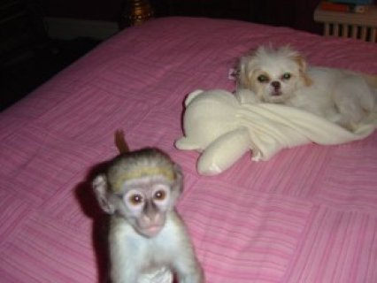 Acrobatic Female Pet Monkey for Adoption