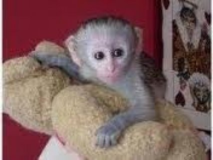 Tamed Male and Female Capuchin Monkeys  Tamed male and female Ca