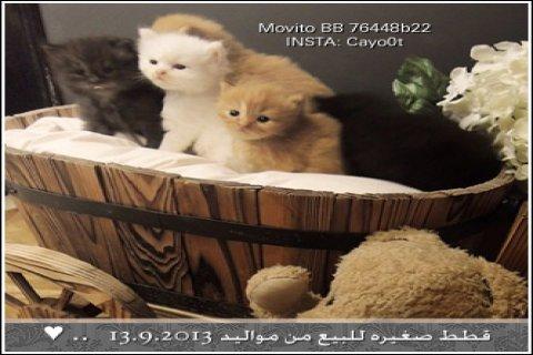 قطط للبيع مع أدواتهن من مربية القطط Cayoot