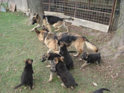 5 x German Shepherd Puppies