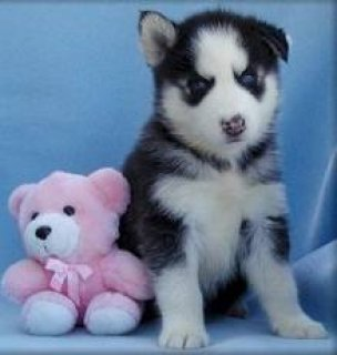 Affordable Male and Female Husky Puppies