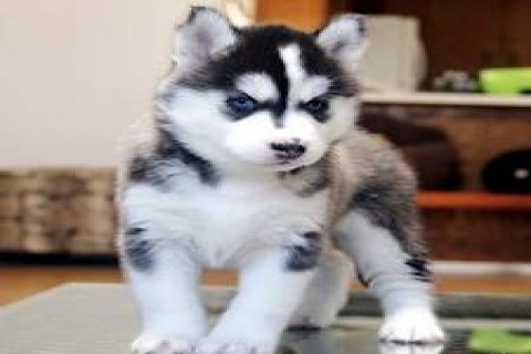 Blue Eyes Siberian Husky Puppies are Now Available