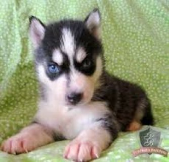صور Siberian Husky Pups Available 1