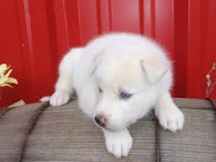 Two Siberian Huskies Puppies Available