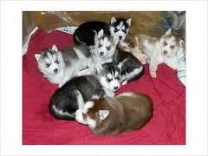 Black & White Siberian Husky Available Now