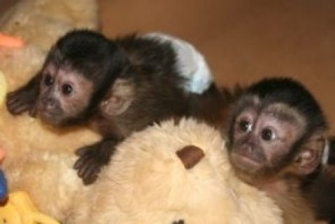 القرود القرد