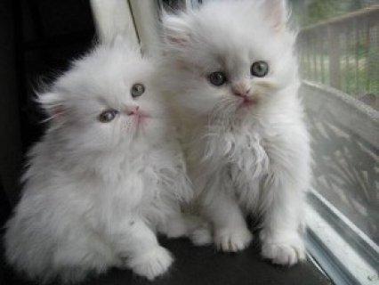 Two White Persian Kittensfor adoption