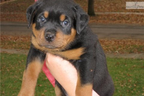 صور If you are looking for Rottweiler puppies for sale from reputabl 2