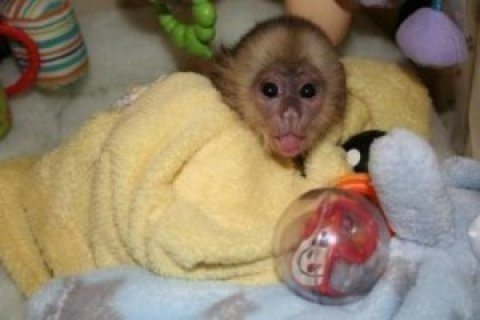 Adorable Capuchin Monkey for X-MASS