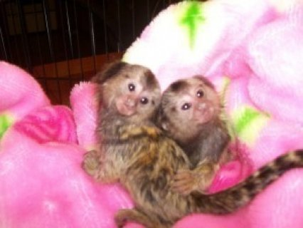 Marmoset Monkey for Adoption