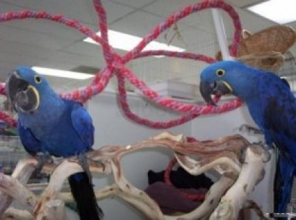 Hand-Fed Hyacinth Macaws For Sale