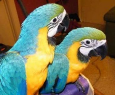 Macaws Parrot for Sale