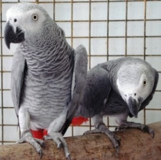 Proven Pairs Of African Greys Great Pair Fully Feathered